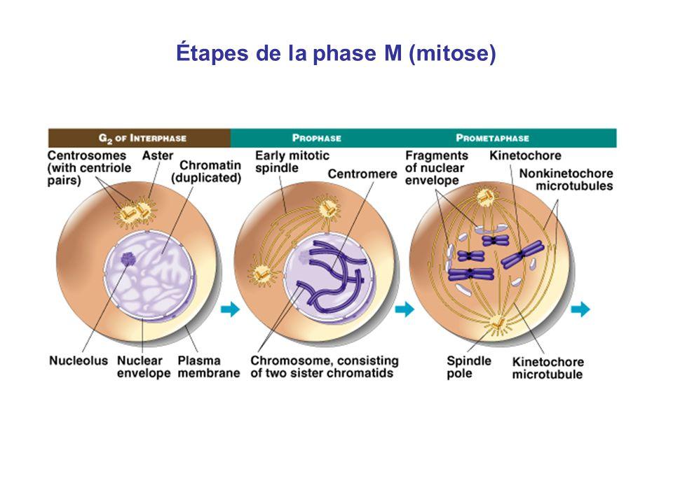 Étapes de la phase M (mitose)