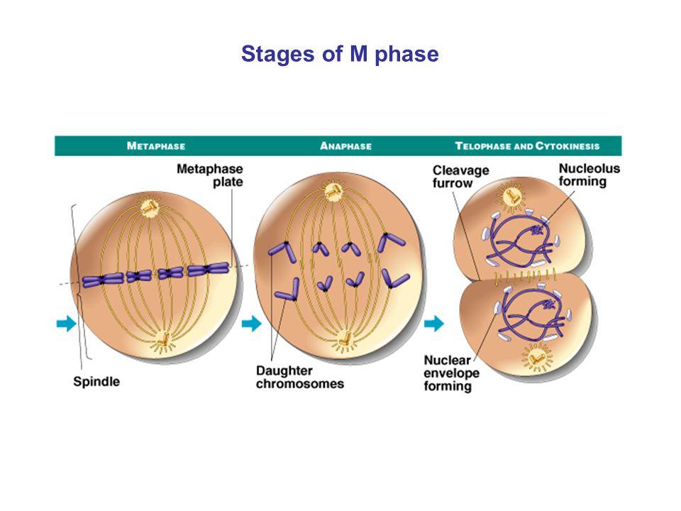 Stages of M phase