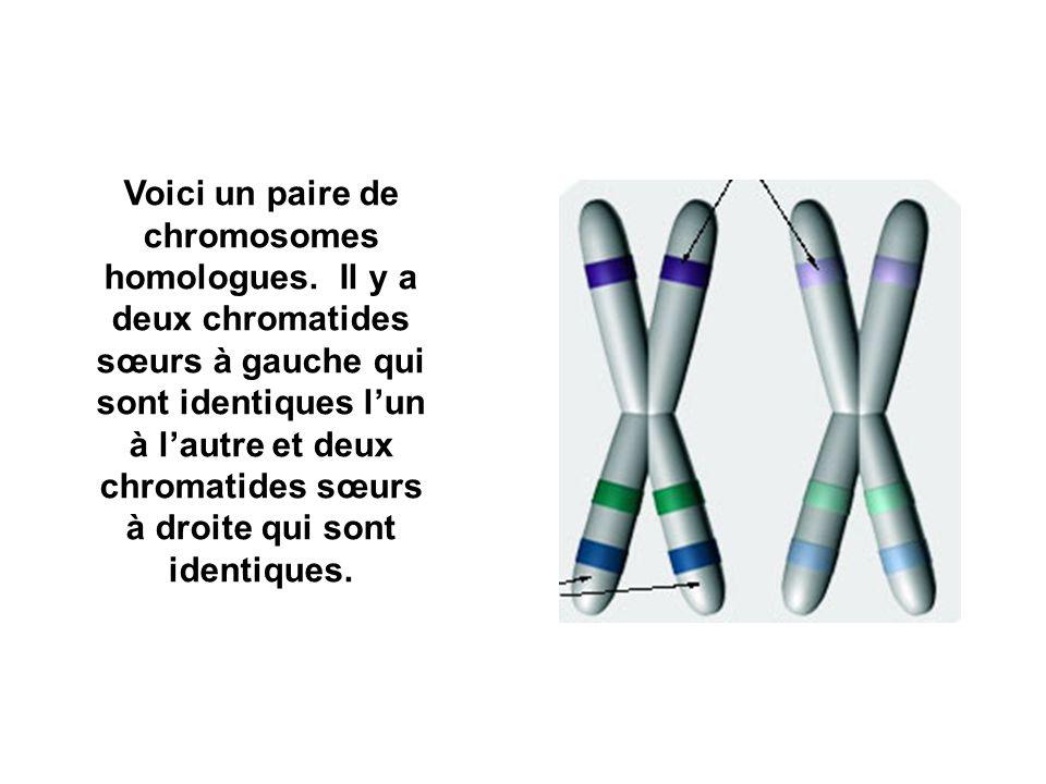 Voici un paire de chromosomes homologues