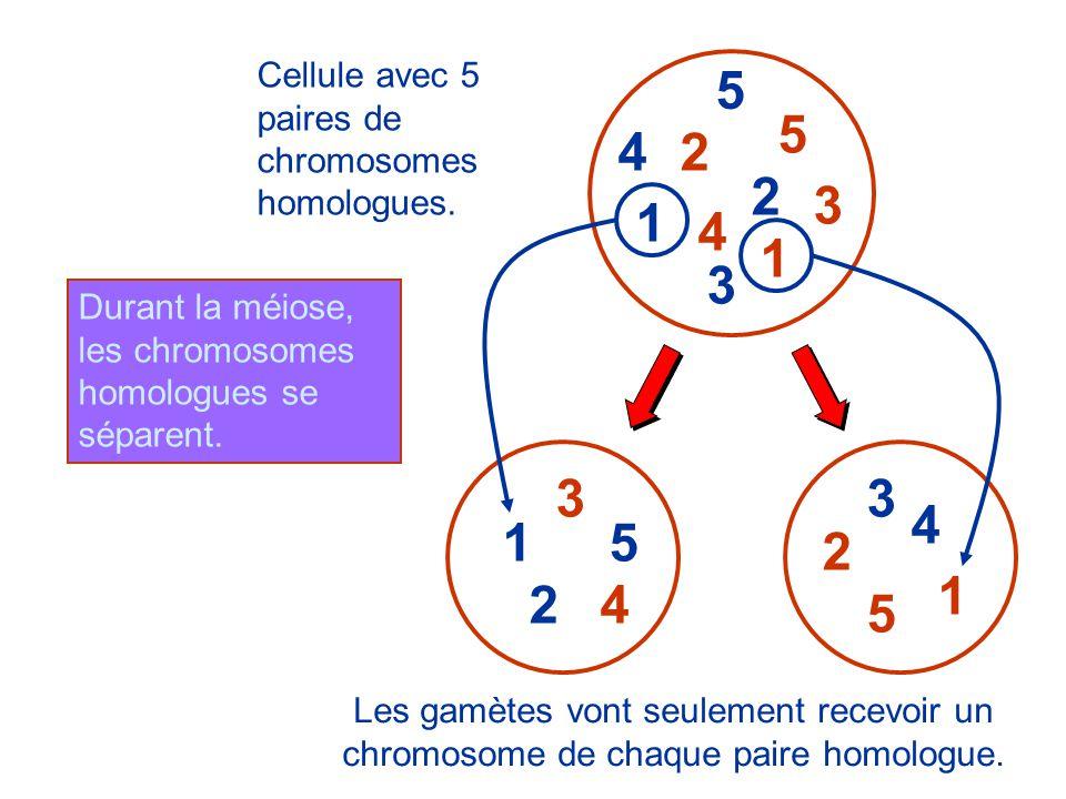 1 2 3 4 5 3 4 1 5 2 2 Cellule avec 5 paires de chromosomes homologues.