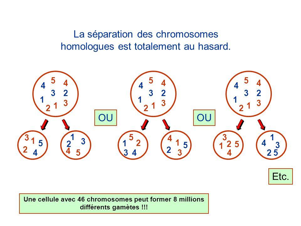 La séparation des chromosomes homologues est totalement au hasard.