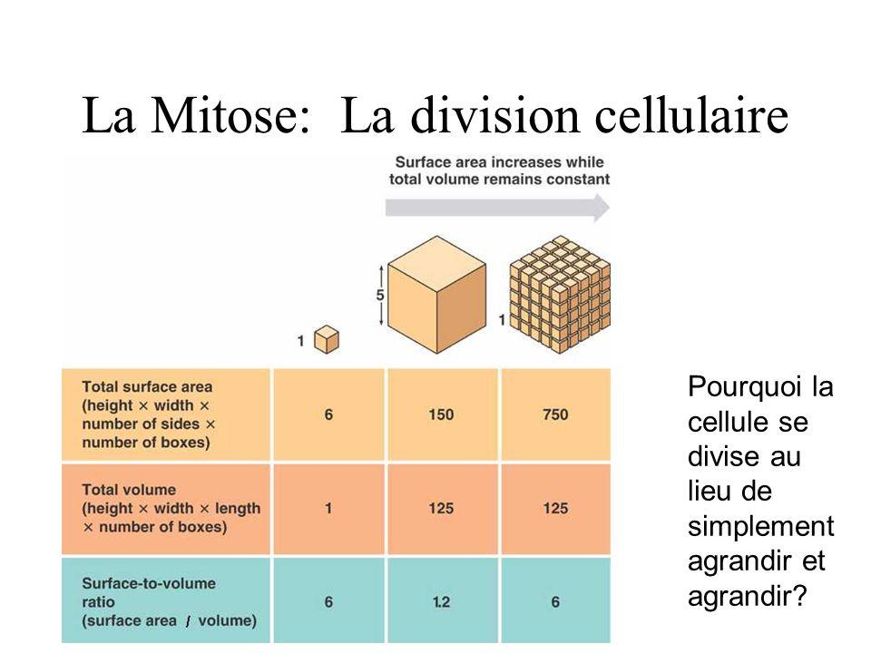 La Mitose: La division cellulaire