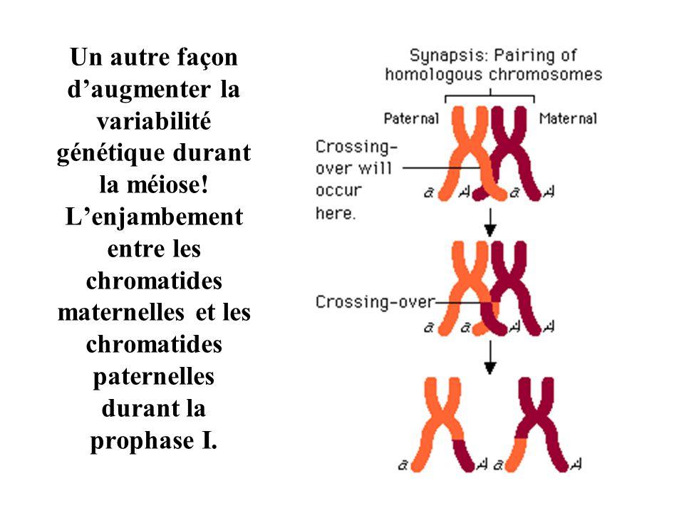 Un autre façon d'augmenter la variabilité génétique durant la méiose