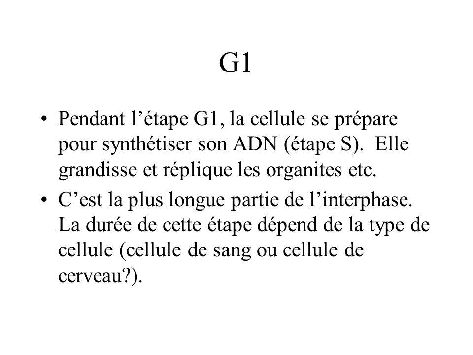 G1 Pendant l'étape G1, la cellule se prépare pour synthétiser son ADN (étape S). Elle grandisse et réplique les organites etc.