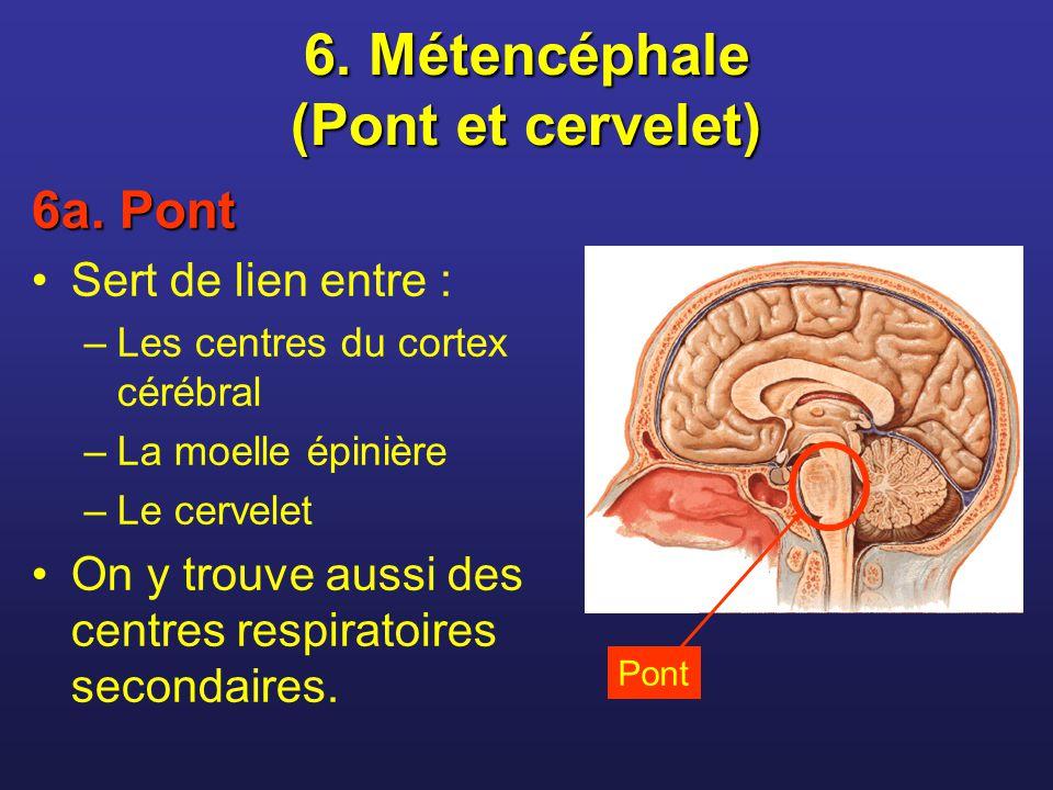 6. Métencéphale (Pont et cervelet)