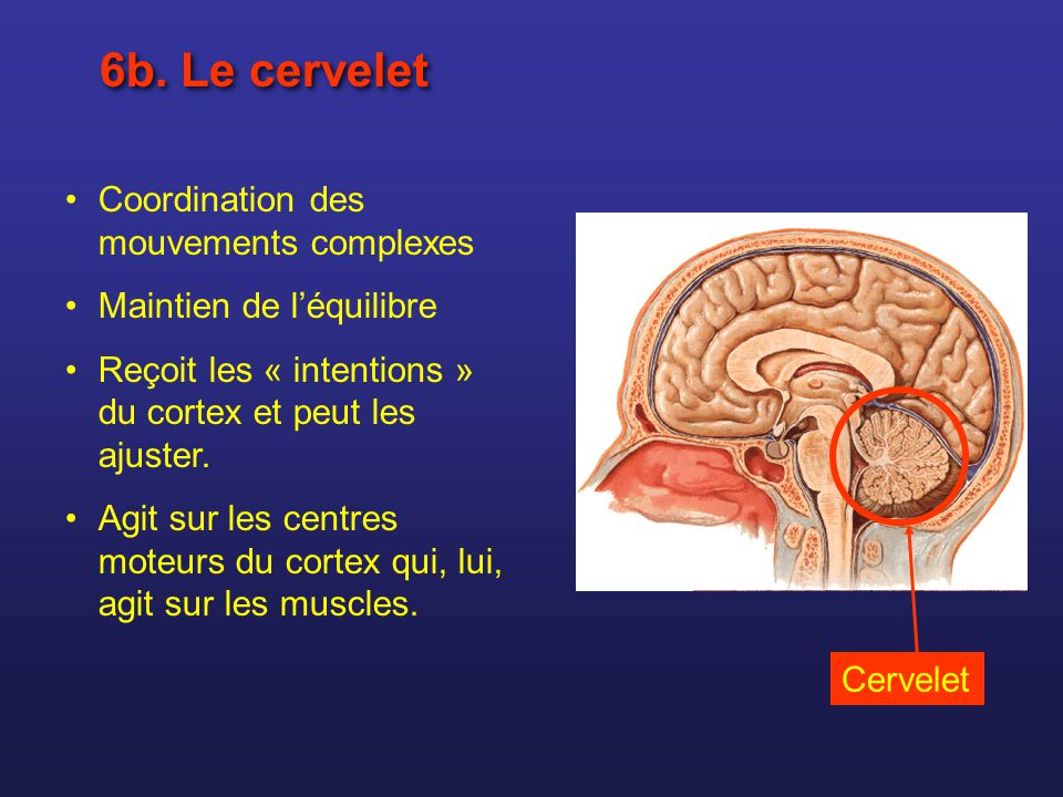 6b. Le cervelet Coordination des mouvements complexes