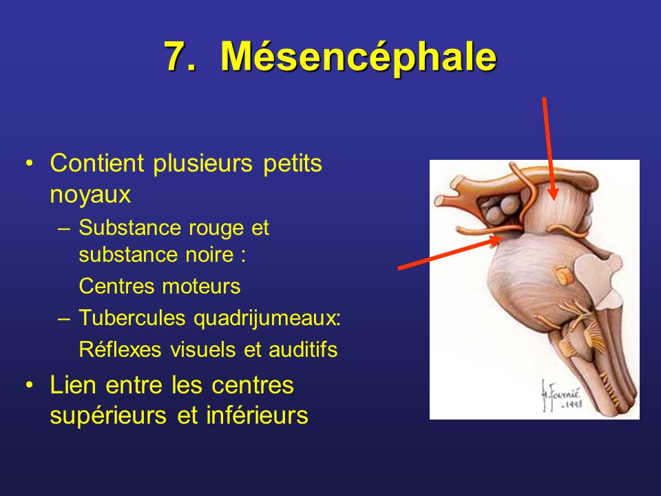 7. Mésencéphale Contient plusieurs petits noyaux