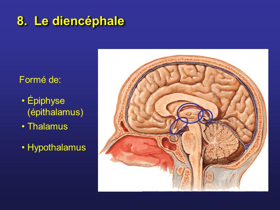 8. Le diencéphale Formé de: Épiphyse (épithalamus) Thalamus