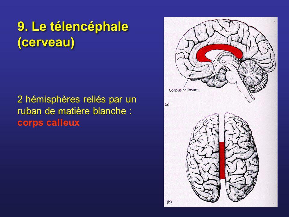 9. Le télencéphale (cerveau)