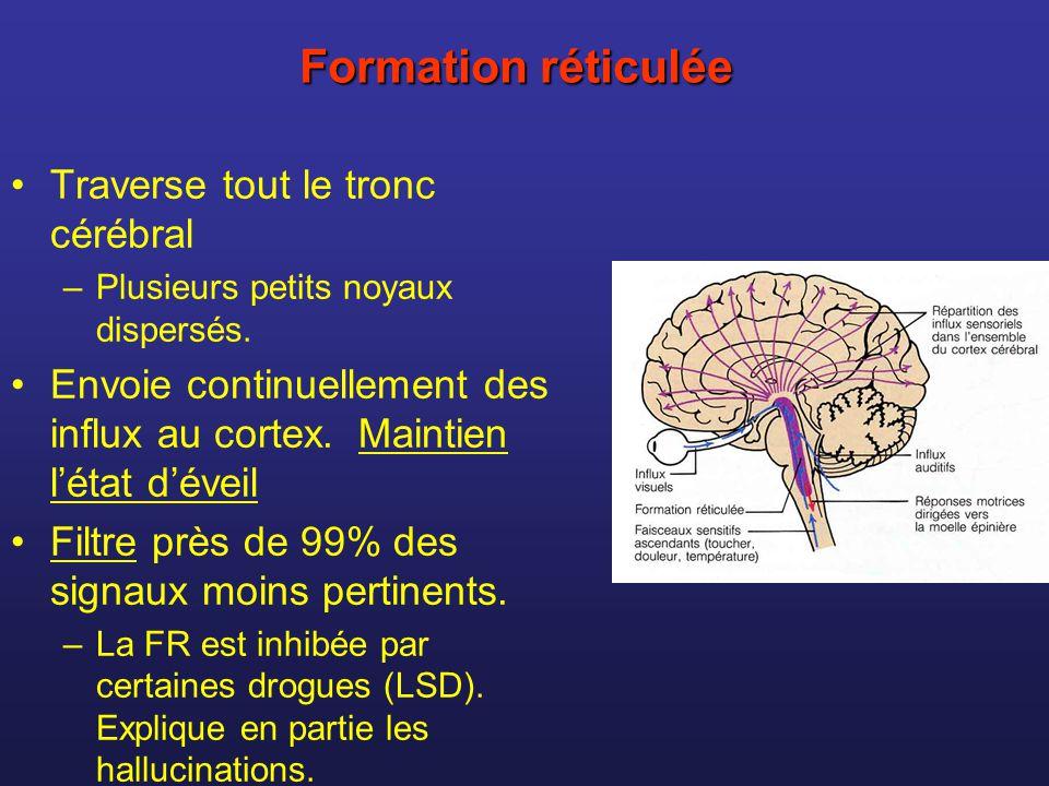 Formation réticulée Traverse tout le tronc cérébral
