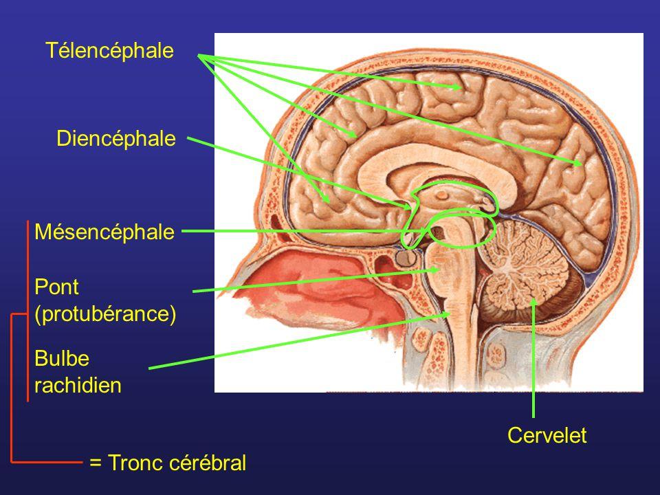 Télencéphale Diencéphale Mésencéphale = Tronc cérébral Pont (protubérance) Bulbe rachidien Cervelet
