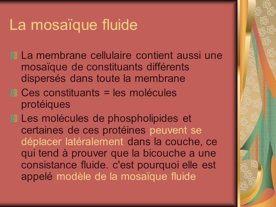 La mosaïque fluide La membrane cellulaire contient aussi une mosaïque de constituants différents dispersés dans toute la membrane.