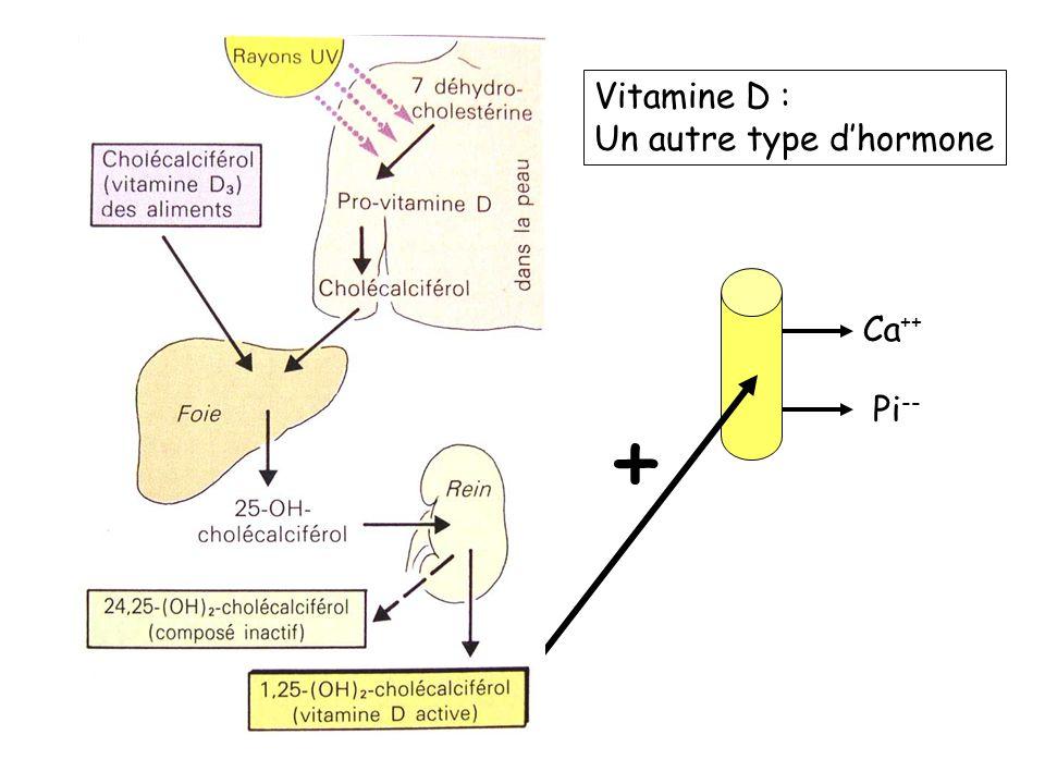 Vitamine D : Un autre type d'hormone Ca++ Pi-- +