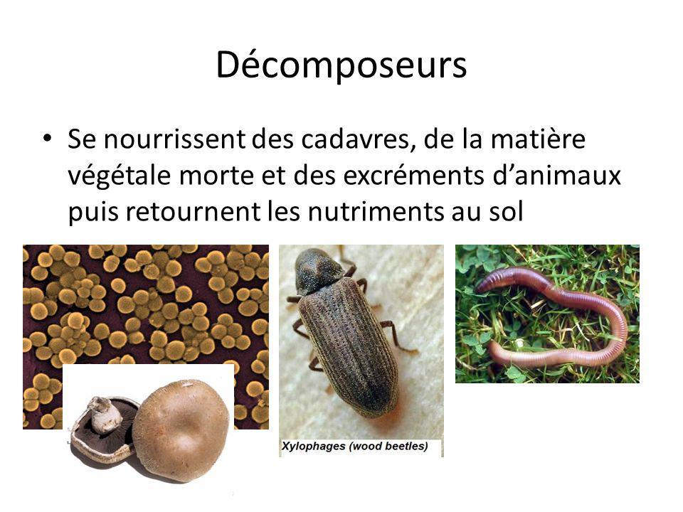Décomposeurs Se nourrissent des cadavres, de la matière végétale morte et des excréments d'animaux puis retournent les nutriments au sol.