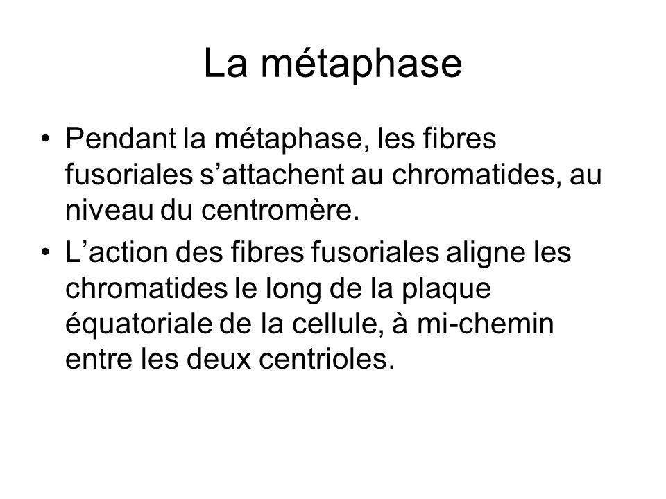 La métaphase Pendant la métaphase, les fibres fusoriales s'attachent au chromatides, au niveau du centromère.