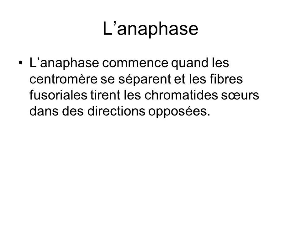 L'anaphase L'anaphase commence quand les centromère se séparent et les fibres fusoriales tirent les chromatides sœurs dans des directions opposées.