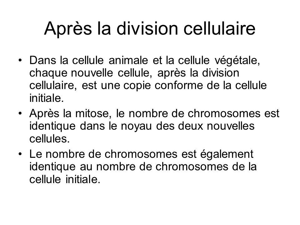 Après la division cellulaire