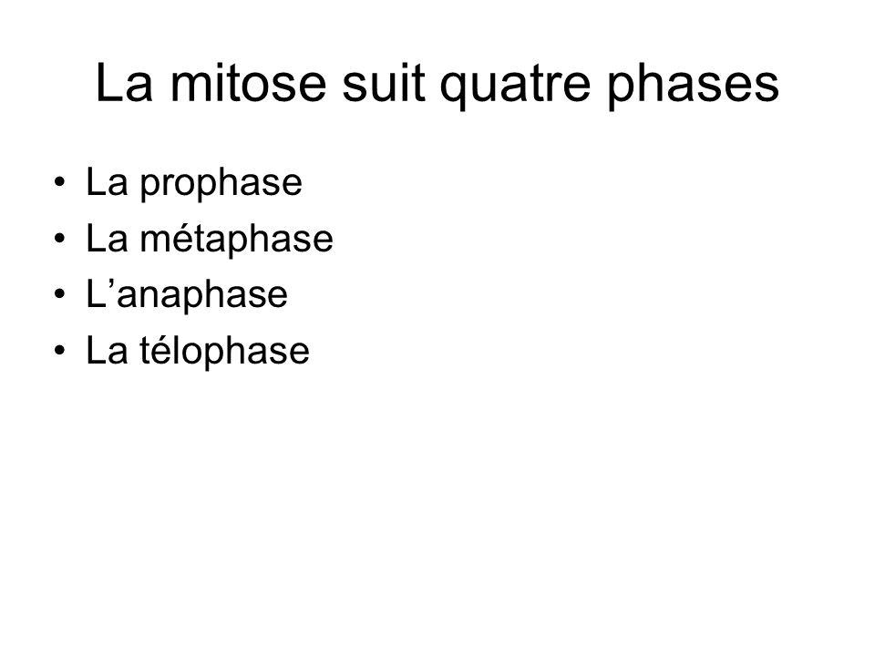 La mitose suit quatre phases