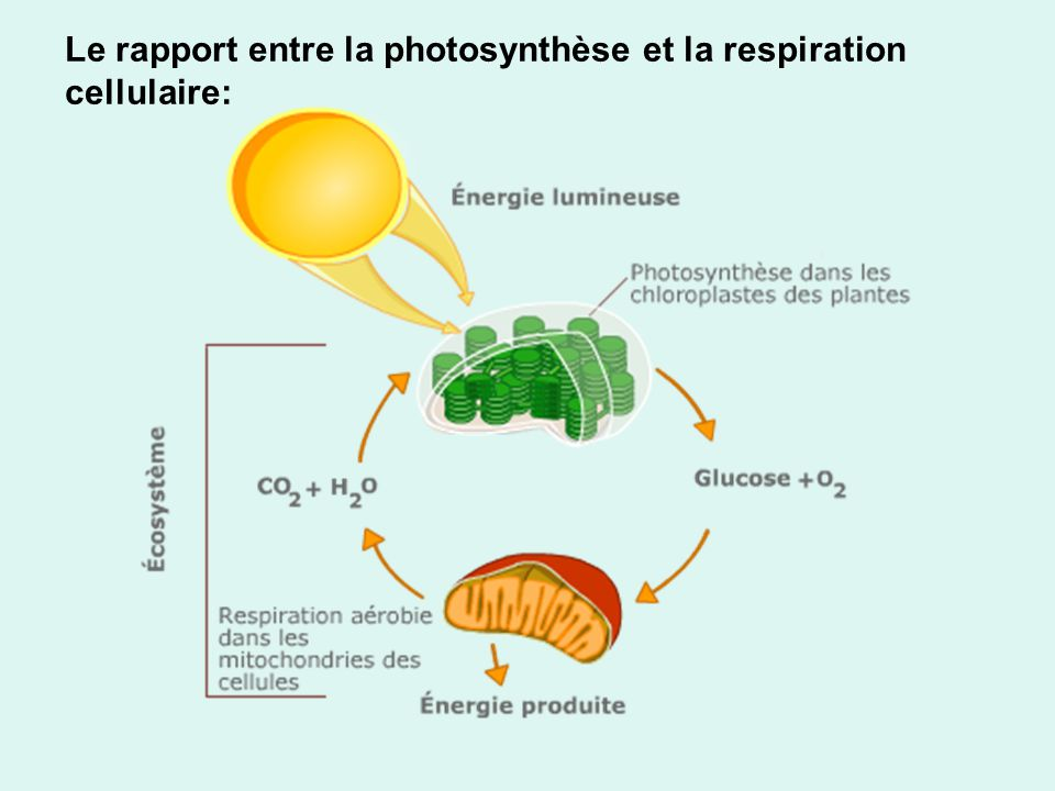 Le rapport entre la photosynthèse et la respiration cellulaire: