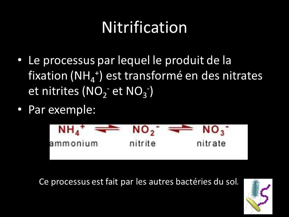 Ce processus est fait par les autres bactéries du sol.