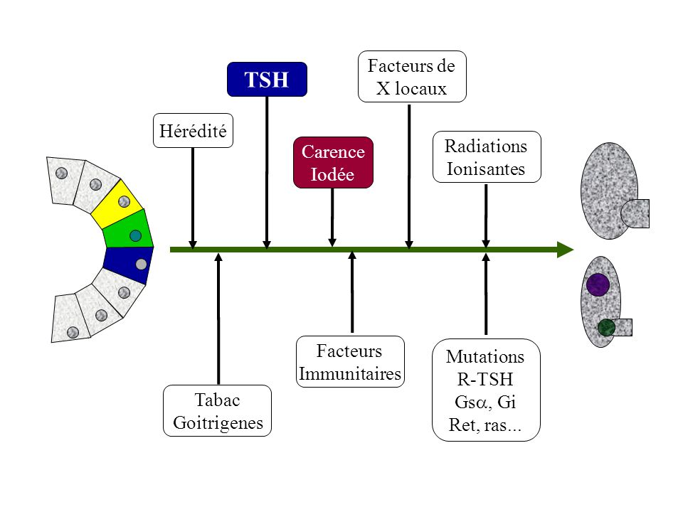 TSH Facteurs de X locaux Hérédité Radiations Carence Ionisantes Iodée