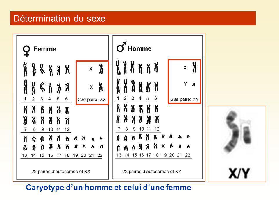 Détermination du sexe Caryotype d'un homme et celui d'une femme