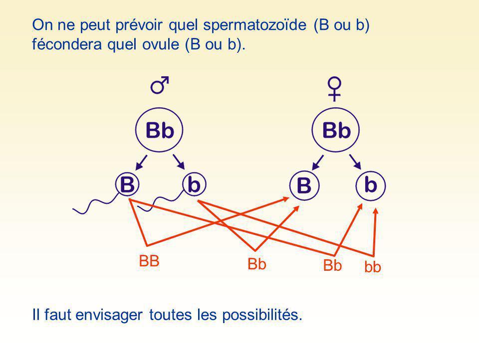 On ne peut prévoir quel spermatozoïde (B ou b) fécondera quel ovule (B ou b).