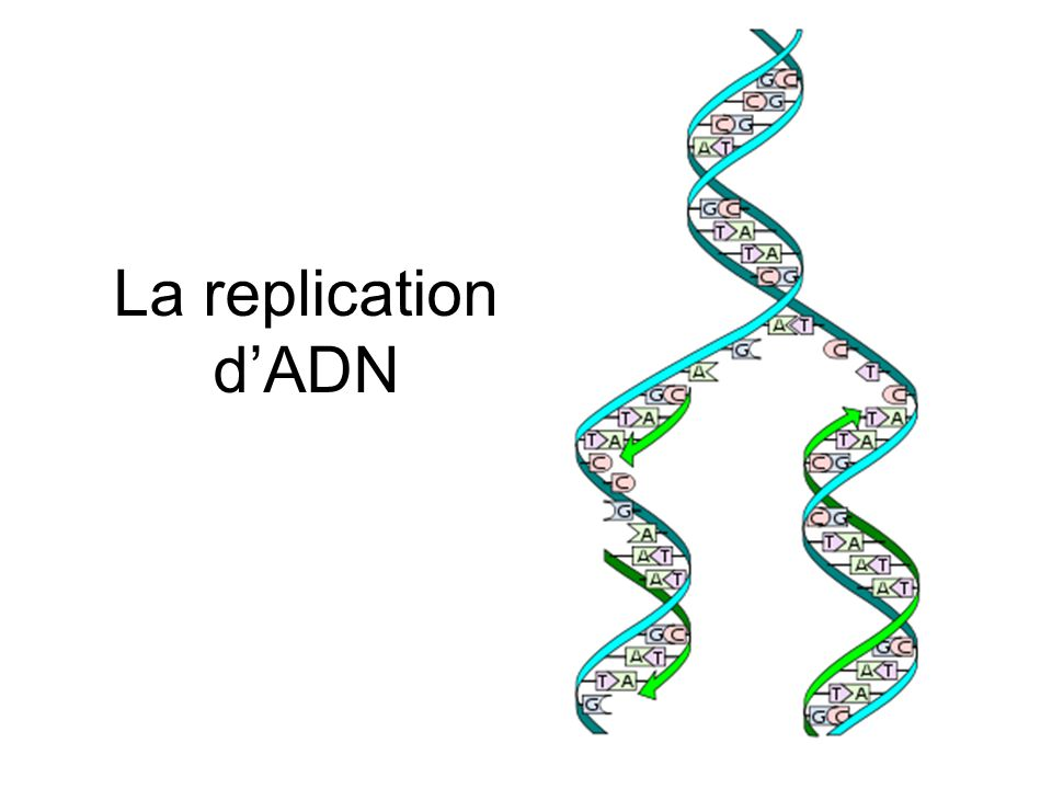 La replication d'ADN