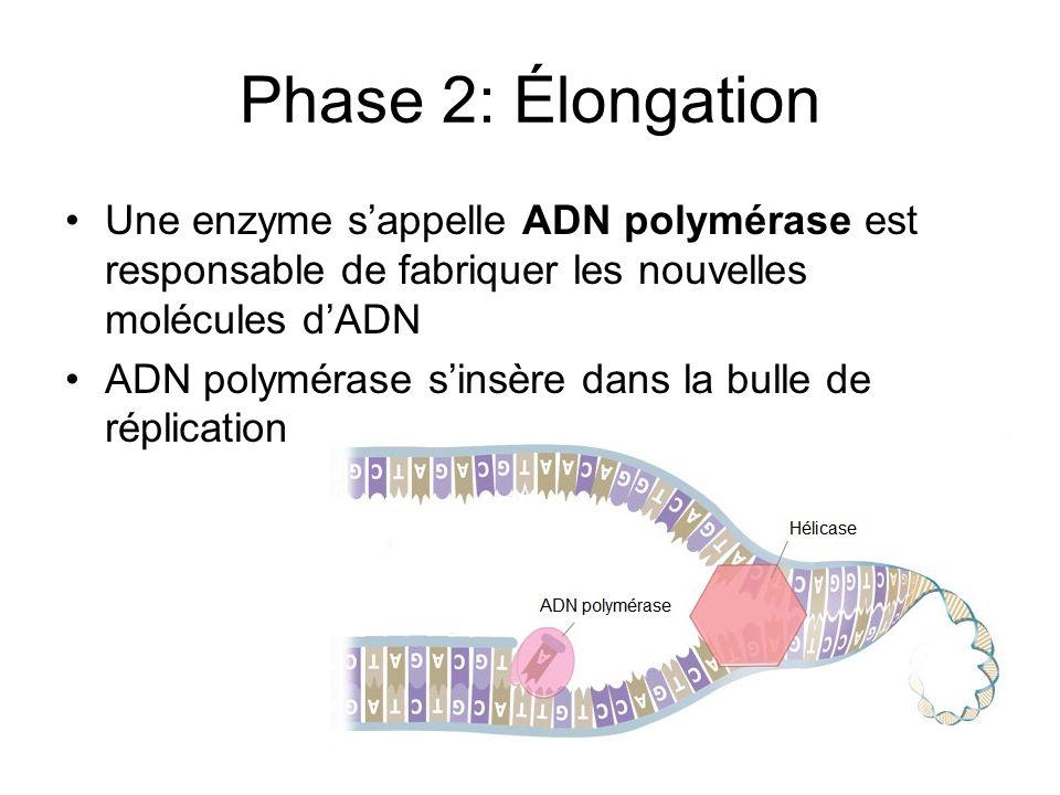 Phase 2: Élongation Une enzyme s'appelle ADN polymérase est responsable de fabriquer les nouvelles molécules d'ADN.