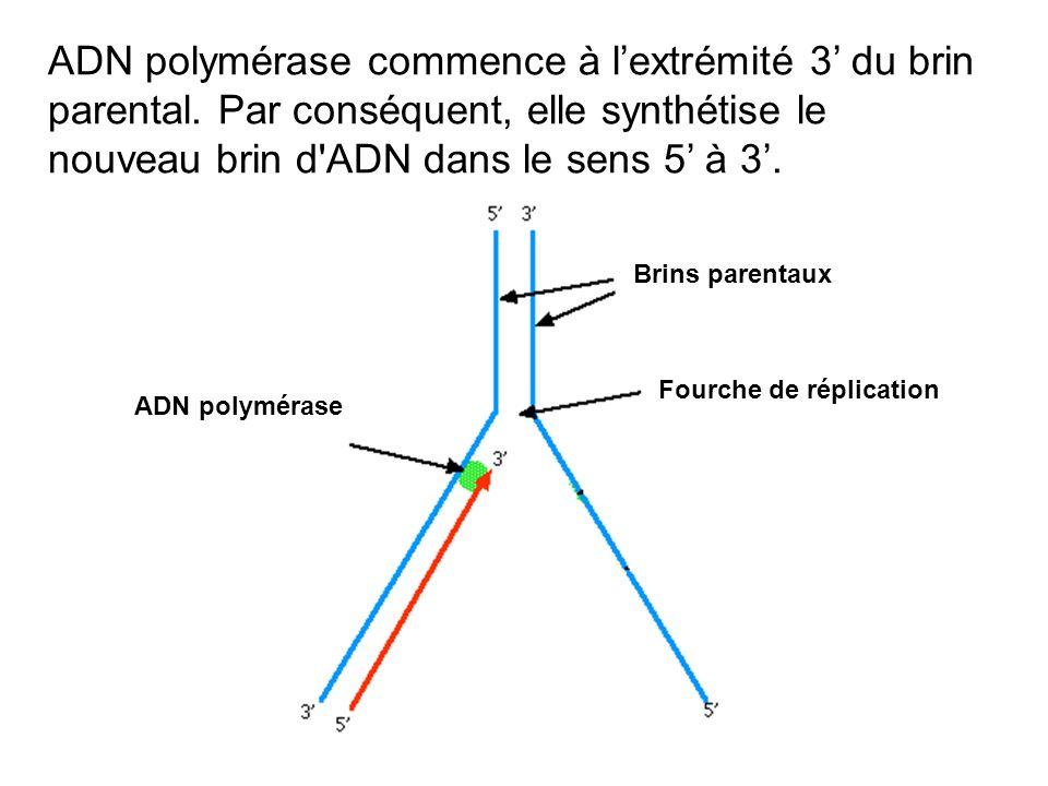 ADN polymérase commence à l'extrémité 3' du brin parental