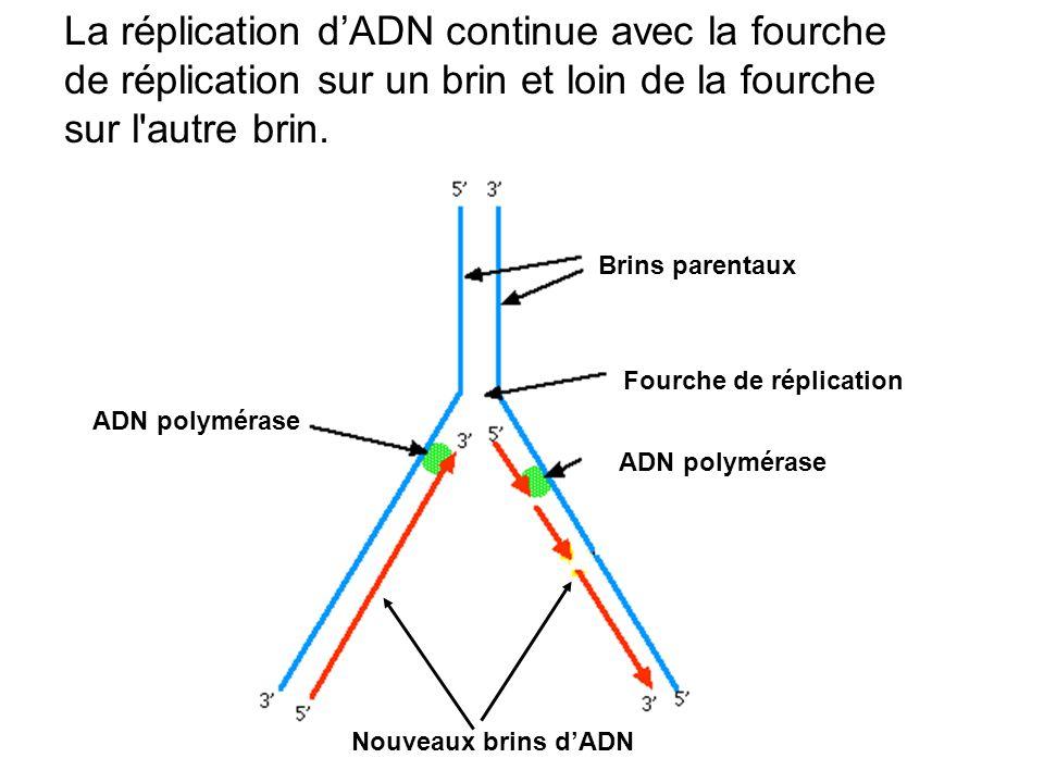 La réplication d'ADN continue avec la fourche de réplication sur un brin et loin de la fourche sur l autre brin.