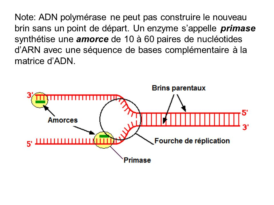 Note: ADN polymérase ne peut pas construire le nouveau brin sans un point de départ.