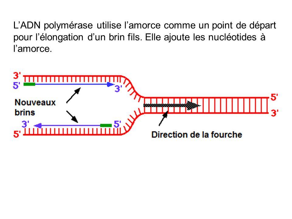 L'ADN polymérase utilise l'amorce comme un point de départ pour l'élongation d'un brin fils.