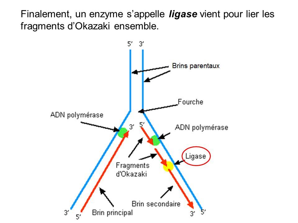 Finalement, un enzyme s'appelle ligase vient pour lier les fragments d'Okazaki ensemble.