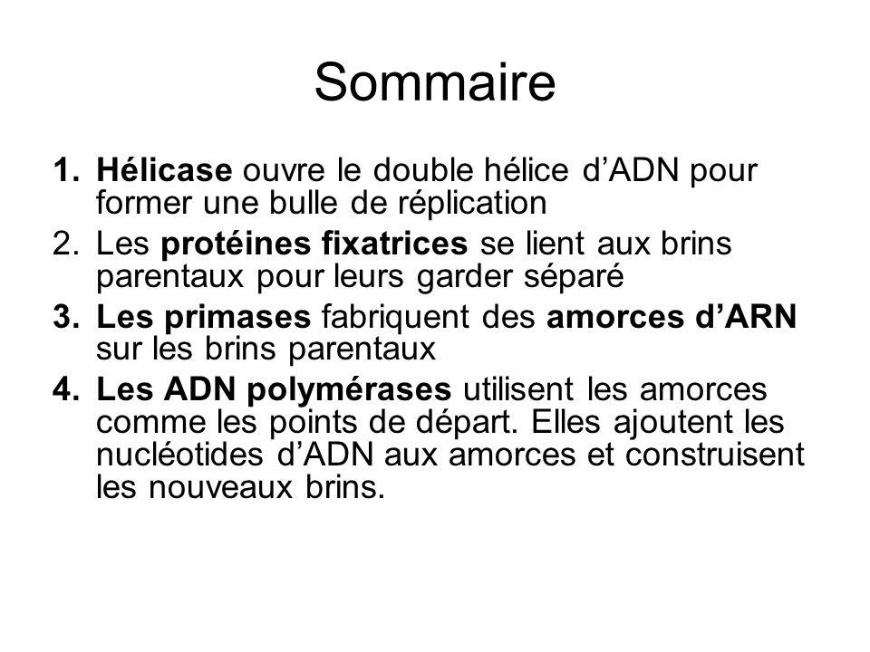 Sommaire Hélicase ouvre le double hélice d'ADN pour former une bulle de réplication.