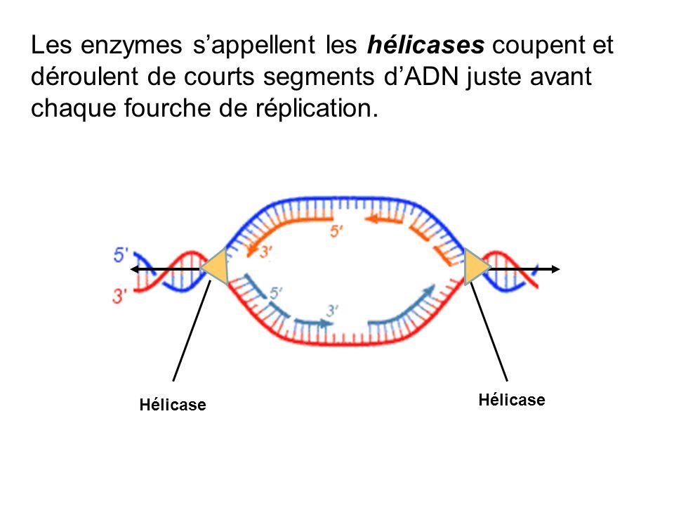 Les enzymes s'appellent les hélicases coupent et déroulent de courts segments d'ADN juste avant chaque fourche de réplication.