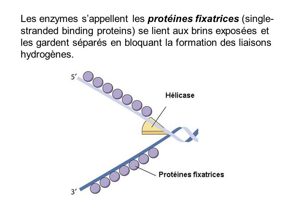 Les enzymes s'appellent les protéines fixatrices (single-stranded binding proteins) se lient aux brins exposées et les gardent séparés en bloquant la formation des liaisons hydrogènes.