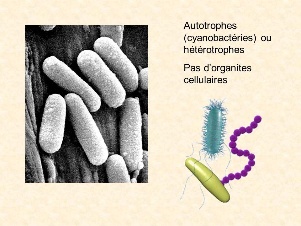 Autotrophes (cyanobactéries) ou hétérotrophes
