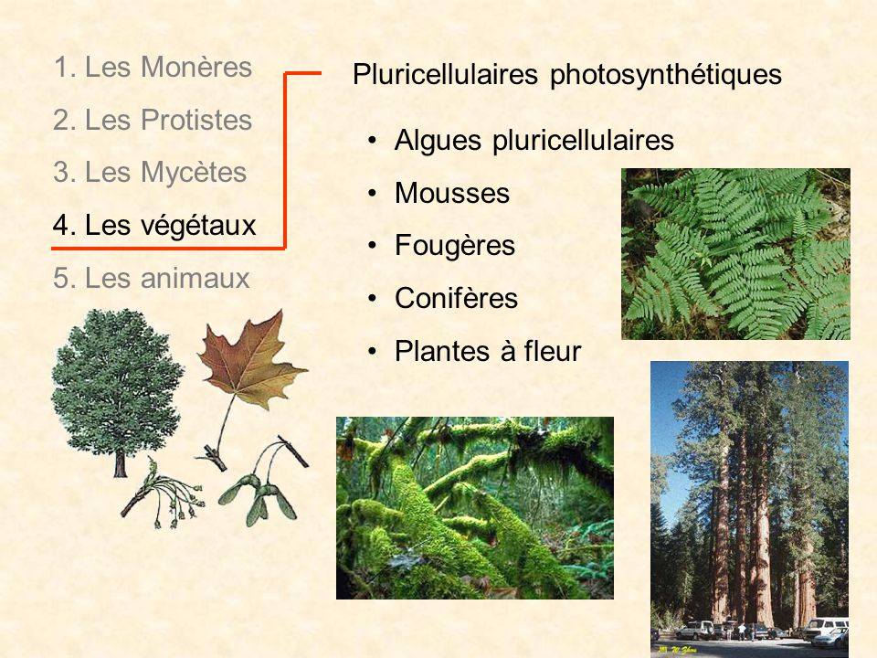 1. Les Monères 2. Les Protistes. 3. Les Mycètes. 4. Les végétaux. 5. Les animaux. Pluricellulaires photosynthétiques.