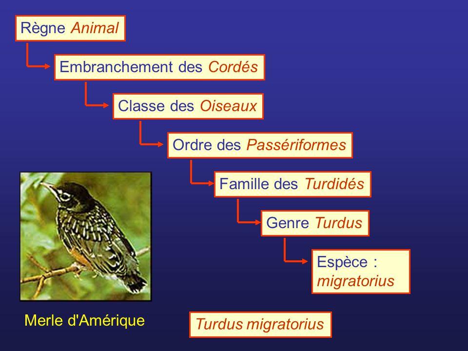 Règne Animal Embranchement des Cordés. Classe des Oiseaux. Ordre des Passériformes. Famille des Turdidés.
