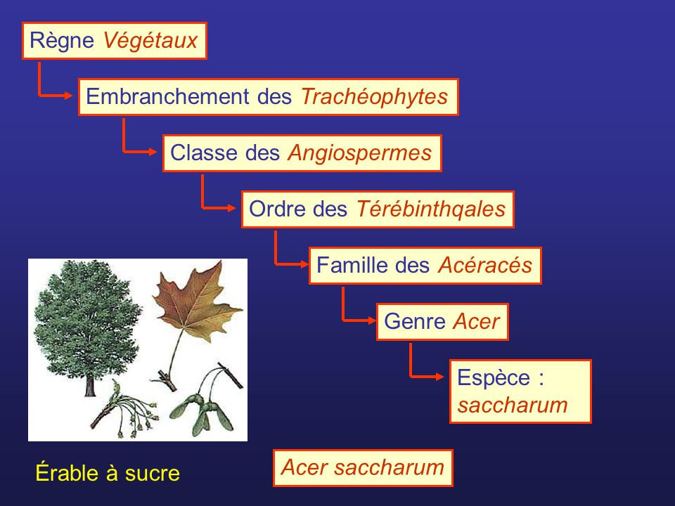 Règne Végétaux Embranchement des Trachéophytes. Classe des Angiospermes. Ordre des Térébinthqales.