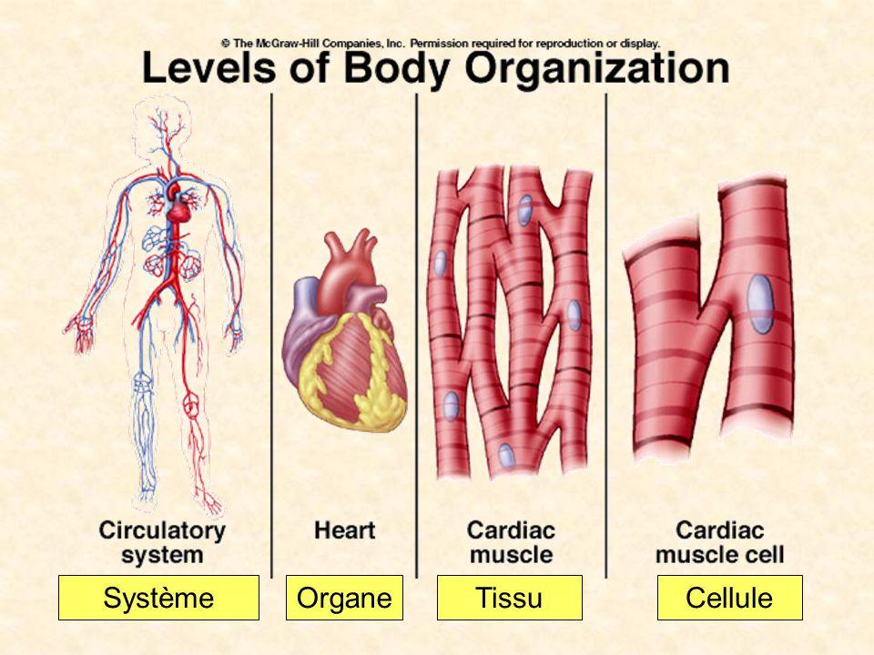 Système Organe Tissu Cellule