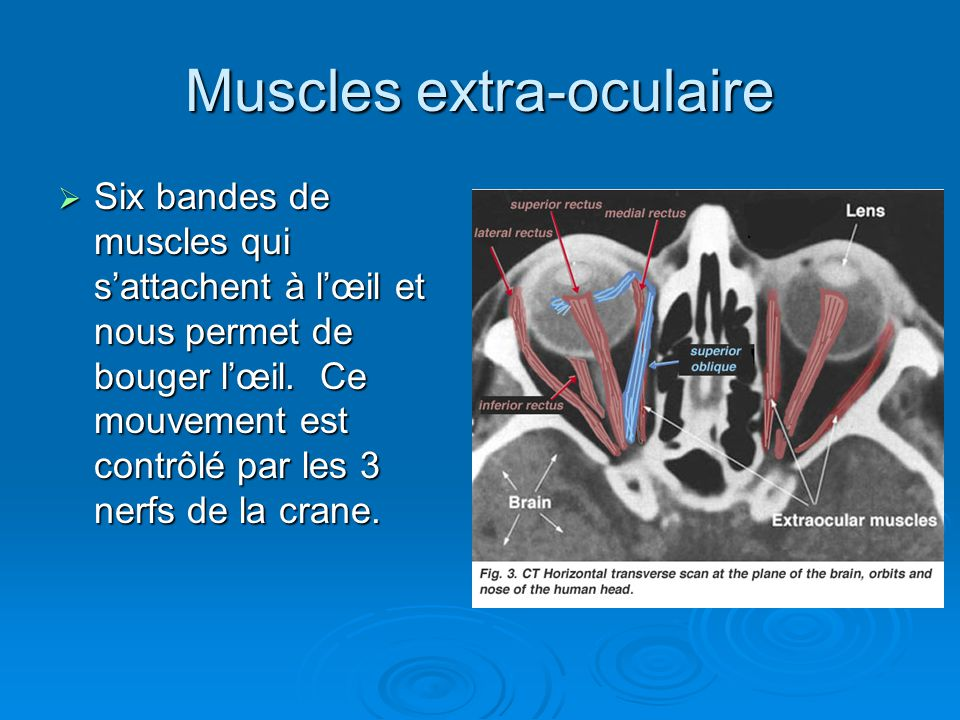 Muscles extra-oculaire