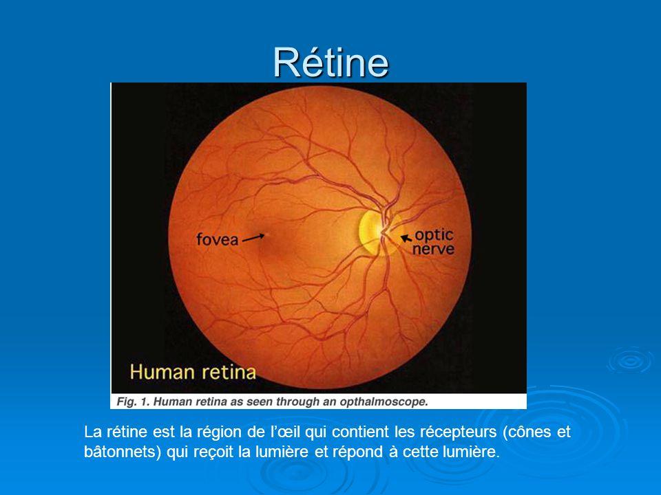 Rétine La rétine est la région de l'œil qui contient les récepteurs (cônes et bâtonnets) qui reçoit la lumière et répond à cette lumière.