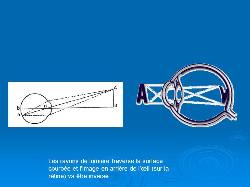 Les rayons de lumière traverse la surface courbée et l'image en arrière de l'œil (sur la rétine) va être inversé.