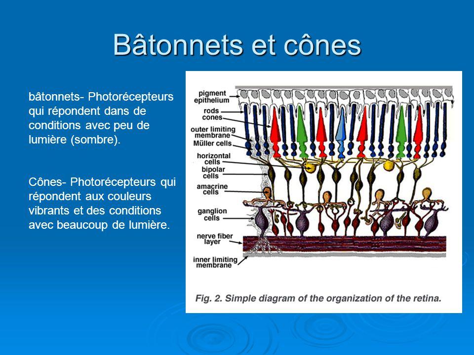Bâtonnets et cônes bâtonnets- Photorécepteurs qui répondent dans de conditions avec peu de lumière (sombre).