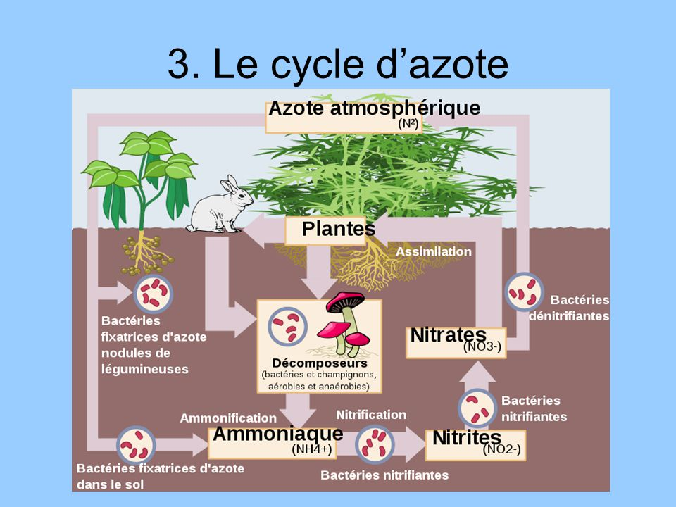 3. Le cycle d'azote