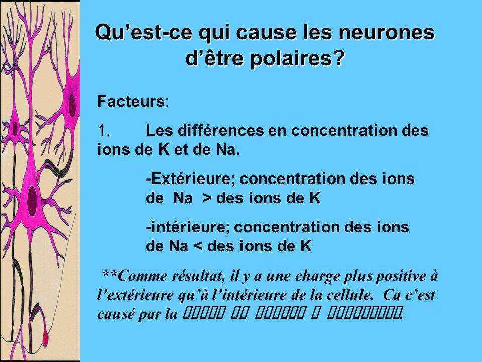 Qu'est-ce qui cause les neurones d'être polaires