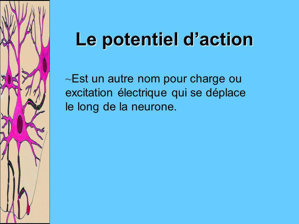 Le potentiel d'action Est un autre nom pour charge ou excitation électrique qui se déplace le long de la neurone.