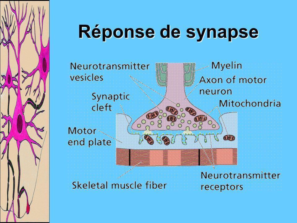 Réponse de synapse